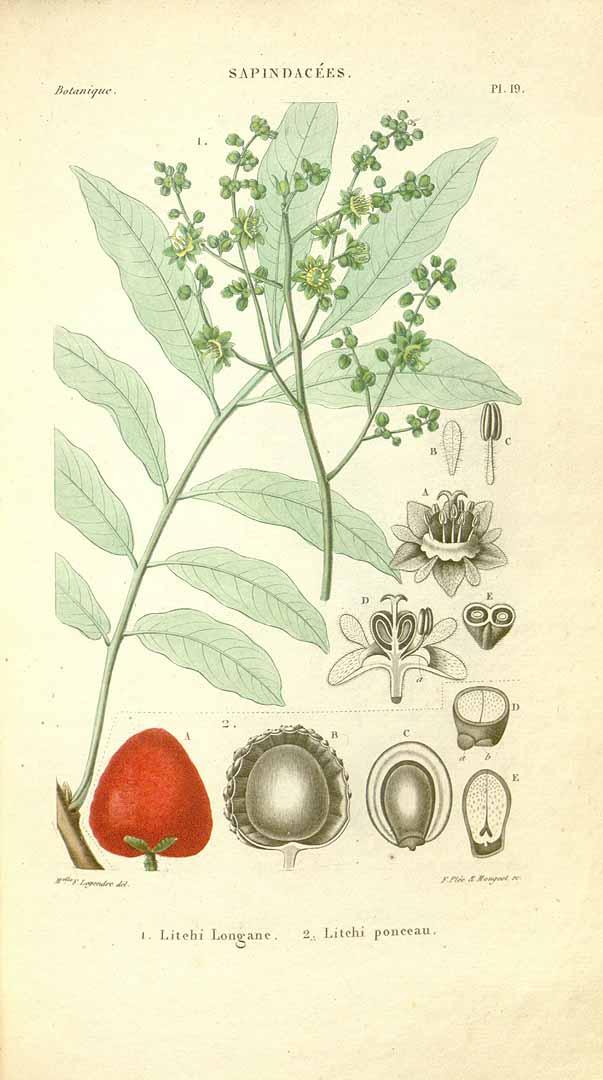 Spach, E., Histoire naturelle des végétaux, Atlas (colored version), t. 19, fig. 2 (c1834-1847)