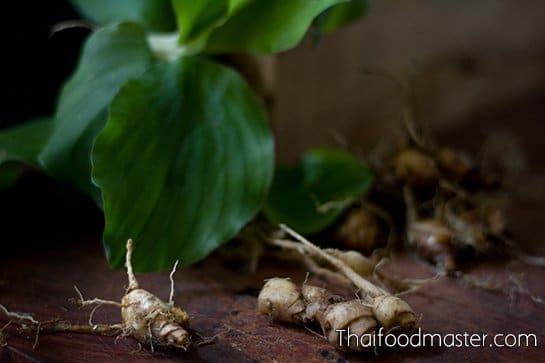 Sand ginger, rhizomes and leaves. (bpraw haawm เปราะหอม)