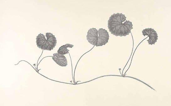 Centella asiatica (บัวบก ; bua bohk)