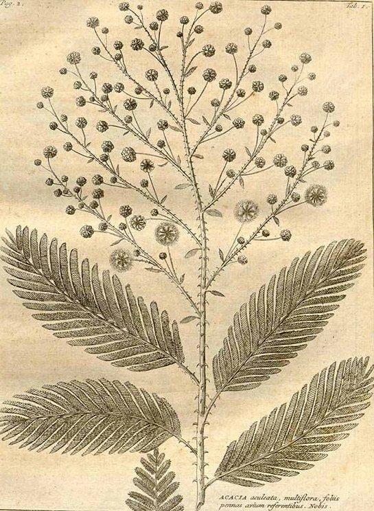 Senegalia pennata wild (ชะอม ; chaohm)
