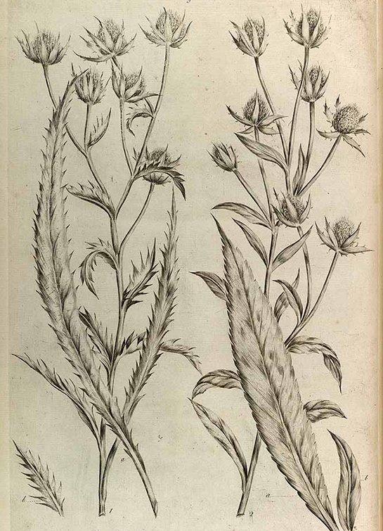 Culantro - Saw coriander (ผักชีฝรั่ง ; phak chee farang)