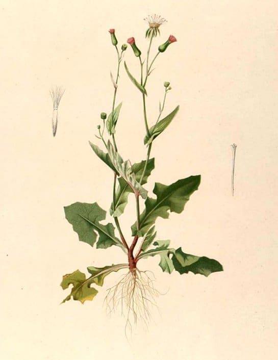 Emilia sonchifolia (หางปลาช่อน ; haang bplaa chaawn)