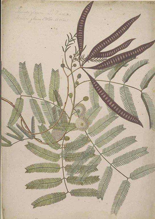 Leucaena leucocephala (กระถิน ; grathin)