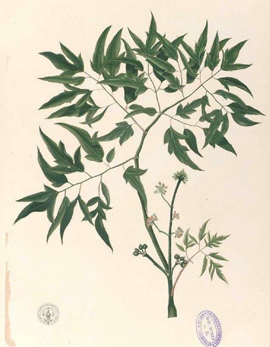 Polyscias fruticosa (L.) Harms (เล็บครุฑฝอย ; lep khroot faawy)