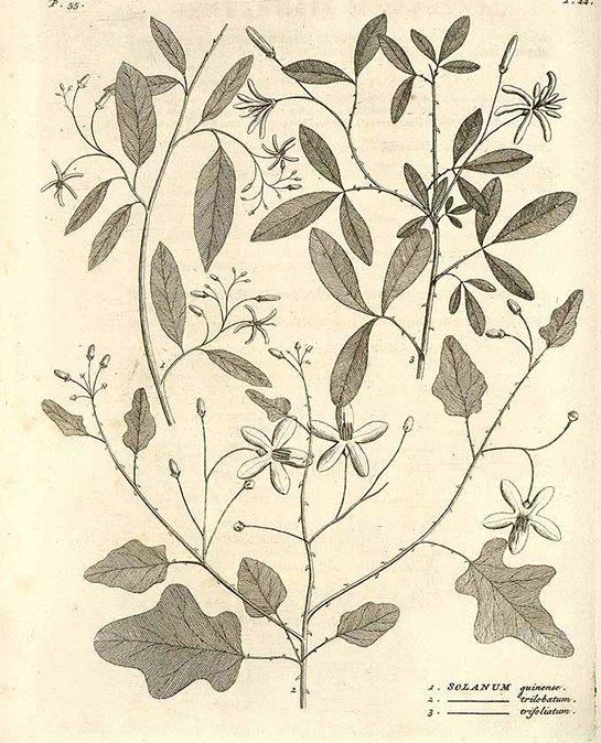 Solanum trilobatum (มะแว้งต้น ; ma waaeng dtohn)