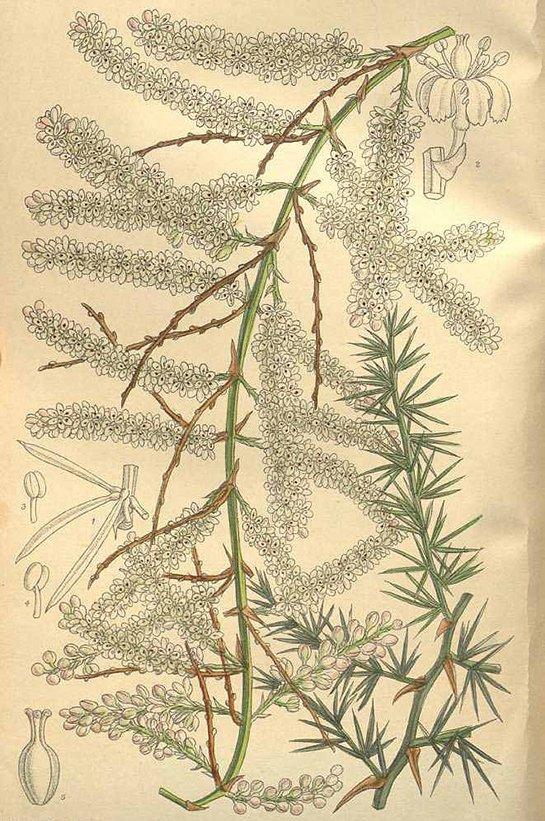Asparagus racemosus (ผักชีช้าง ; phak chee chaang)