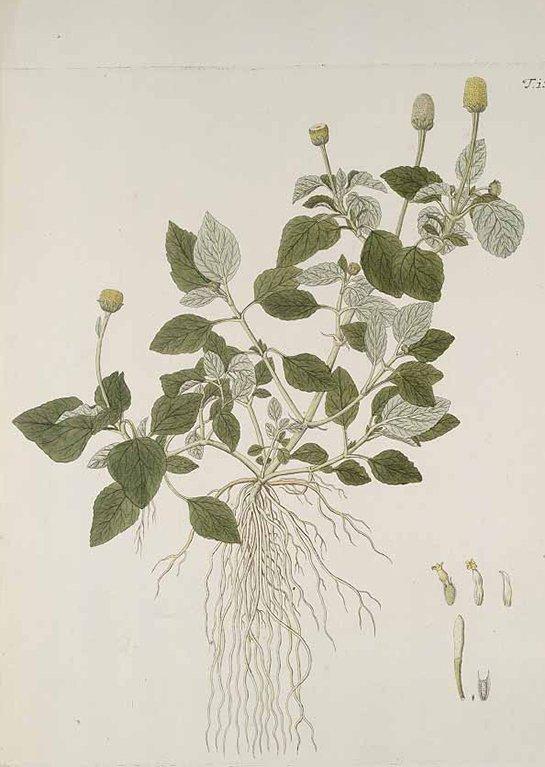 Spilanthes oleracea (ผักคราด ; phak khraat)