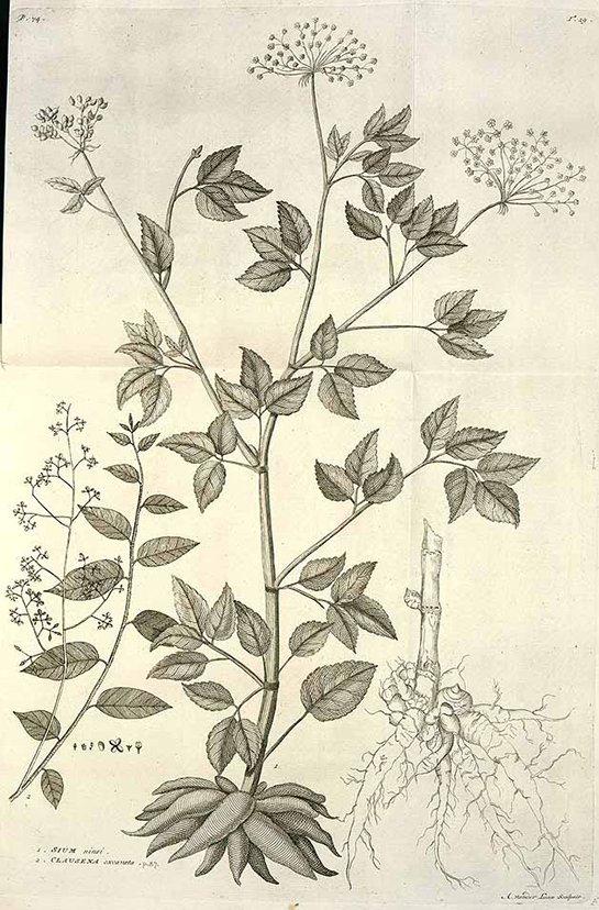 Clausena excavata Burm.f. (เพี้ยฟาน ; phiia faan)