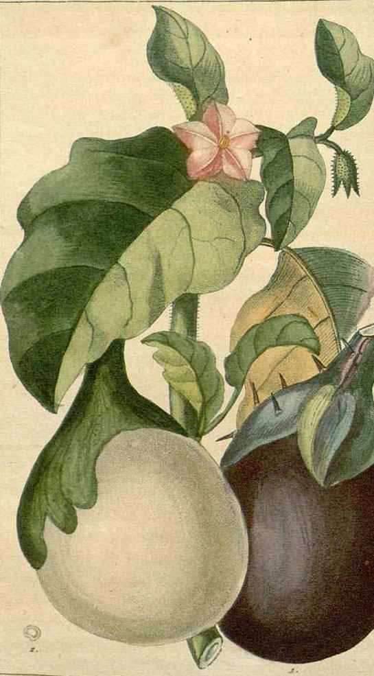 Eggplant - Thai eggplant (apple eggplant) (มะเขือเปราะ ; ma kheuua bpraw)