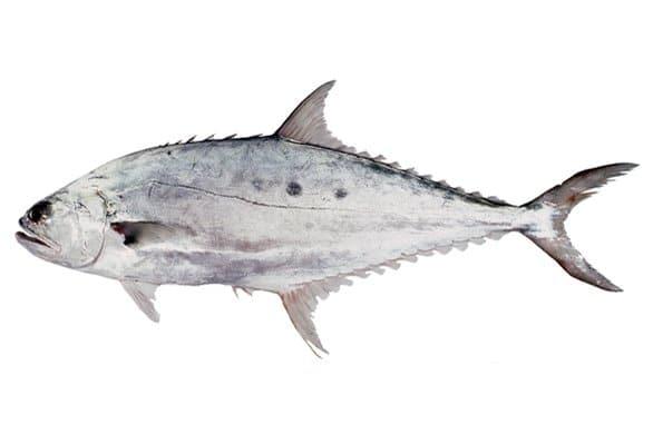 Talang Queenfish (ปลาสละ ; bplaa sala)