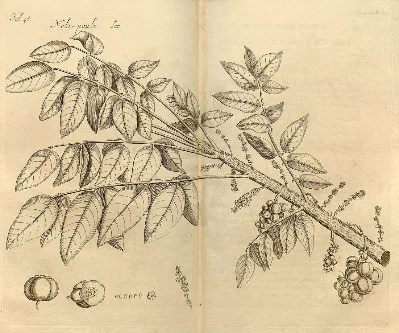 Phyllanthus acidus (มะยม ; ma yohm)