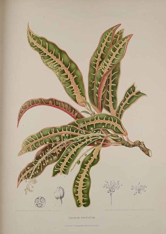 Garden Croton (โกสน go:h sohn)