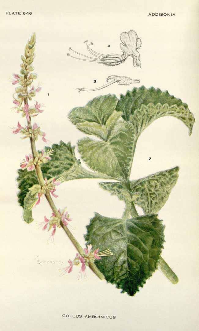 Plectranthus amboinicus (Lour.) Spreng (หูเสือ huu seuua)