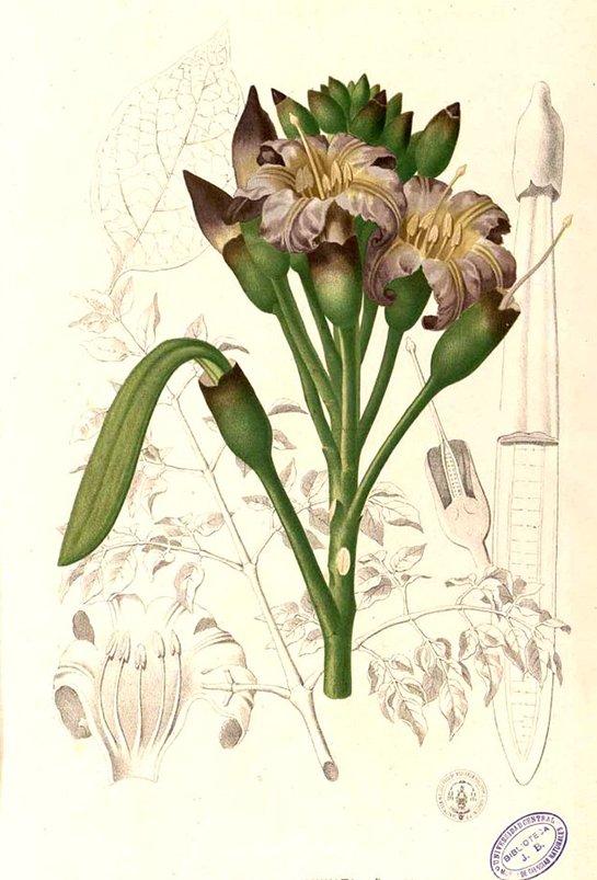 Indian trumpet flower (เพกา ; phaeh gaa)