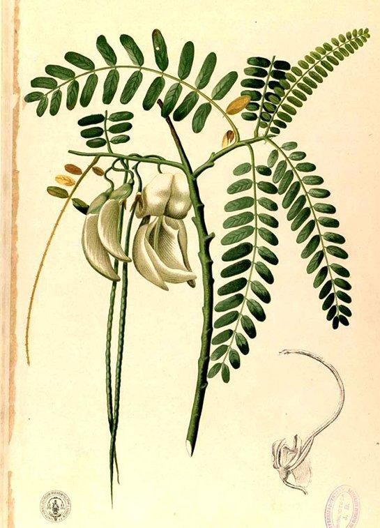 Sesbania grandiflora flowers (แค khaae)