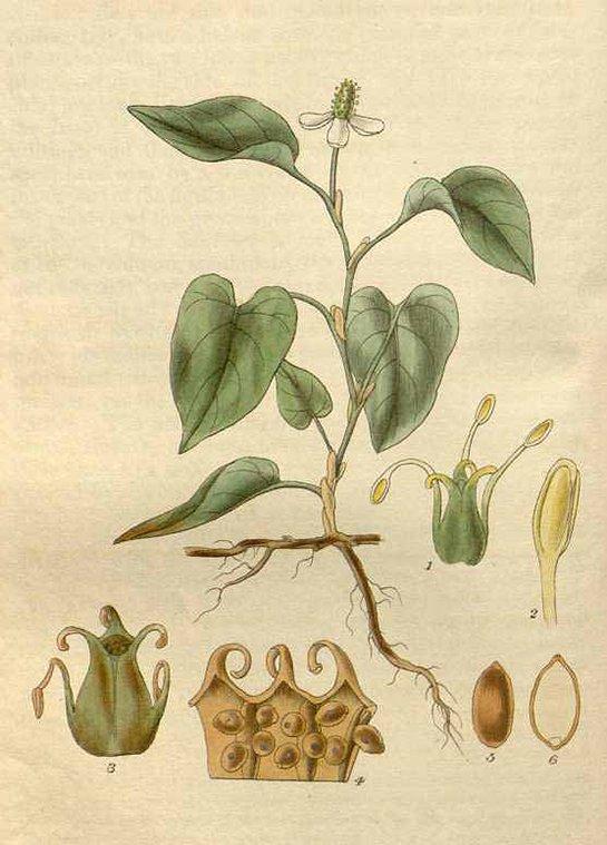 Houttuynia cordata (คาวตอง or พลูคาว khaao dtaawn OR phluu khaao)