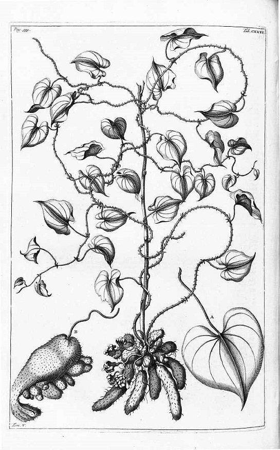 Yam - lesser yam - Dioscorea esculenta (มันมือเสือ ; man meuu seuua)