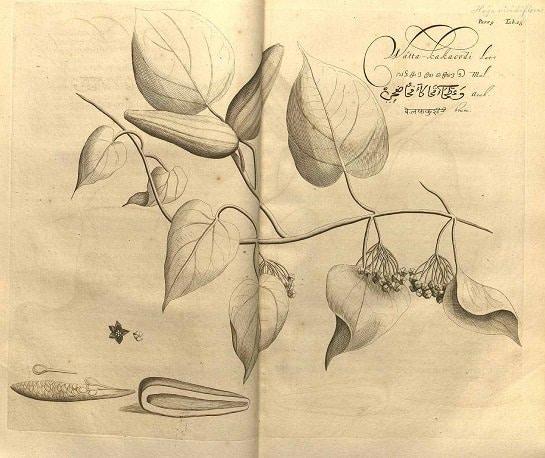 Dregea volubilis (กระทุงหมาบ้า ; gra thoong maa baa)