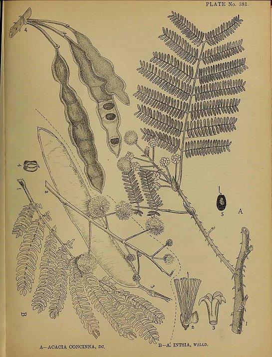Acacia concinna (ส้มป่อย ; sohm bpaawy)