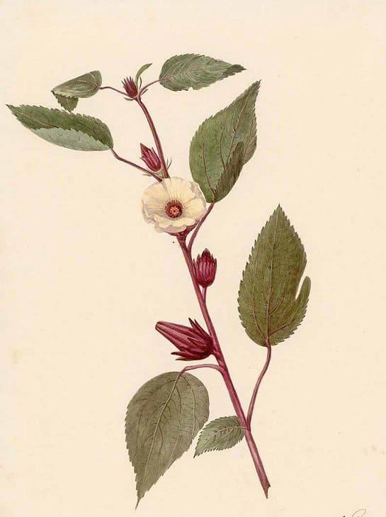 Rosella - leaves (ใบกระเจี๊ยบแดง ; bai gra jiiap daaeng)