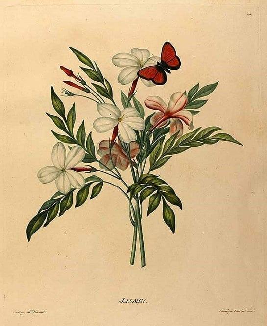Jasmine flower (ดอกมะลิ ; daawk mali)