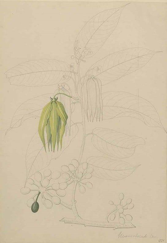 Ylang-Ylang flower (กระดังงา ; gradang ngaa)