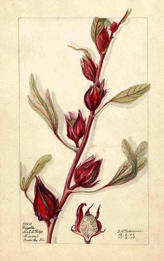 Rosella - fruit (กระเจี๊ยบแดง ; gra jiiap daaeng)