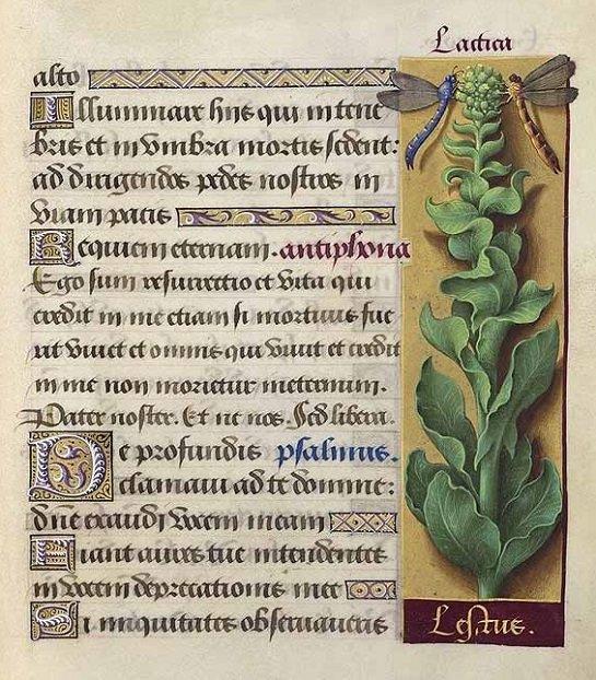 Lettuce - green leaf lettuce (ผักกาดหอม ; phak gaat haawm)