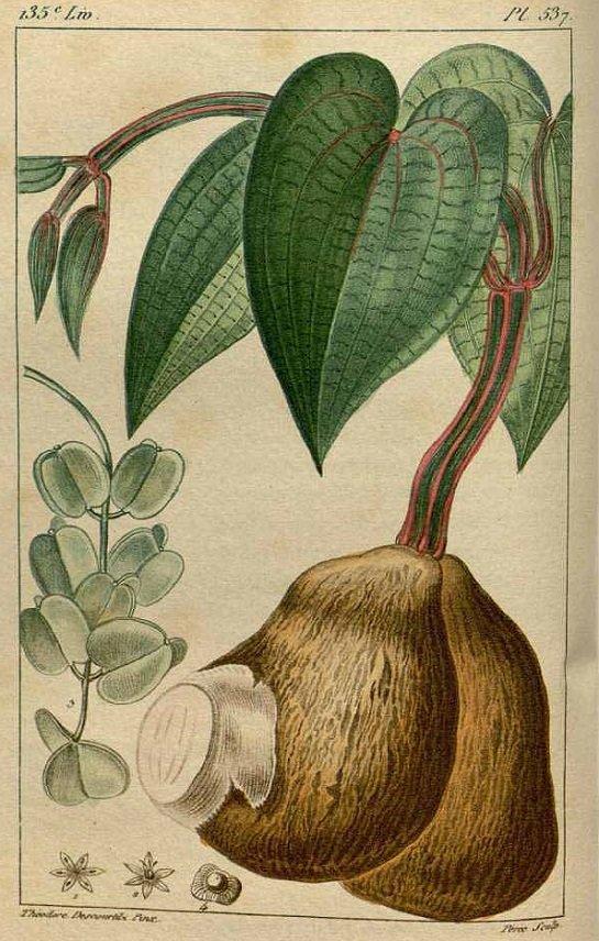 Yam - purple yam - Dioscorea alata (มันเสา ; man sao)
