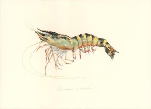 Shrimp – Tiger prawn (กุ้งกุลาดำ ; goong goo laa dam)