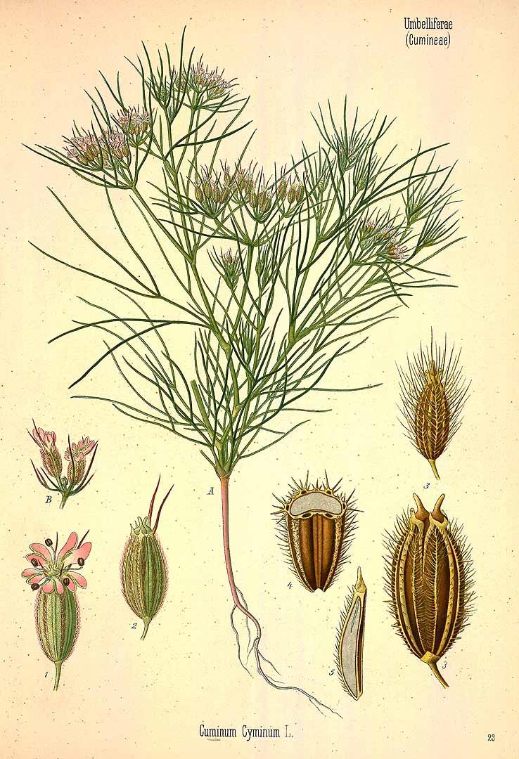 Cumin – Seeds (ลูกยี่หร่า ; luuk yee raa)